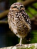 Burrowing Owl standing on one leg