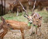 Black buck and spotted deer in the safari