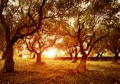 Picture of beautiful orange sunset in olive trees garden, agricultural landscape, lebanese farmland,