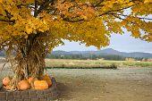 Cornstalks And Pumpkins Under A Tree.