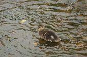Small Wild Duck