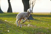 stock photo of mustering  - cute little lamb jumping on field - JPG