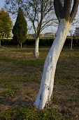 White Washed Tree Trunk