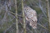 Ural Owl standing on a tree.