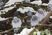 image of shivering  - shivering birds pigeons on the tree in a cold winter day with snow and ice