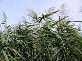 cane stalks