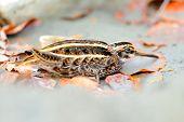passarinho escondido (Lymnocryptes minimus)