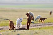 little baby goats on field in spring