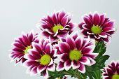 picture of lime-blossom  - Purple chrysanthemum bouquet closeup  - JPG
