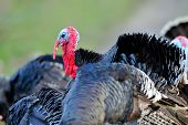 pic of turkey-cock  - farm male turkey outdoor - JPG