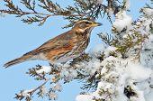 red wing thrush (turdus iliacus)