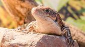 Sudan lizard