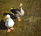 Gray And White Geese
