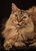 Adult Maine Coon Cat