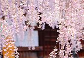 stock photo of weeping  - Weeping sakura with japanese temple background - JPG