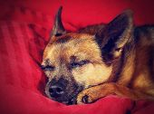 a nice looking chihuahua sleeping on a red blanket done with a retro vintage instagram filter