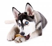stock photo of puppy eyes  - Beautiful cute husky puppy - JPG