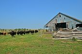 stock photo of neglect  - A herd of inquisitive beef on the prairie stand near an old neglected barn and lumber pile - JPG