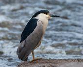 Black-capped Night-heron