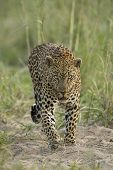 Male Leopard (panthera Pardus) South Africa