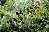 Cairns Birdwing Latin name Ornithoptera euphorion mating