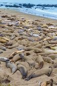 California Elephant Seals in wild Piedras Blancas point in South Big Sur inn Pacific Highway 1