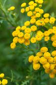 picture of tansy  - Yellow tansy flowers - JPG