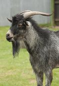 foto of billy goat  - A goat with long beard standing in a paddock - JPG