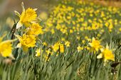 Wild daffodils blooming in the woods on the German Belgian border in the Eifel region