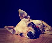 pic of chihuahua  - a cute chihuahua on a wooden floor done with a vintage retro ins - JPG