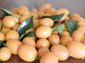 pic of tangelo  - kumquat fresh and ripened in the foreground - JPG