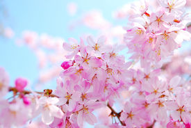 stock photo of cherry blossoms  - Cherry blossoms of Tokyo during the spring season - JPG