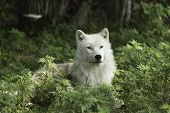 image of horrific  - Arctic Wolves in a forested environment playing or resting - JPG