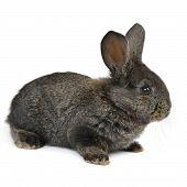 Black Little Rabbit Isolated On White Background
