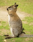 picture of wallabies  - Cute wallaby eating and standing on the grass - JPG