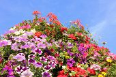 Colorful Petunias Against Blue Sky
