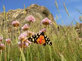 Butterfly Tiger Moth (arctia Caja), Sitting On A Primrose Flower