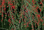 Cotoneaster Twigs With Berries