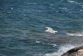White seagull in flight on a deep blue sky