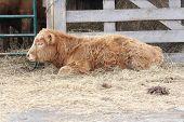 Bull Calf in Feed-Transfer Lot