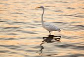 Great White Egret In The Sea Off Tampa In Gulf