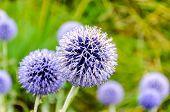 Allium Hollandicum Sphere Flower Closeup