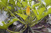 Zucchini Plants.