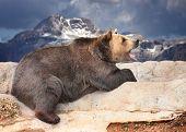 Brown bear on high mountain range.