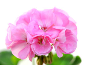 stock photo of dynamo  - A group of pink Dynamo flower on white background - JPG