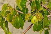The Deadly Manchineel Tree And Apple Fruit