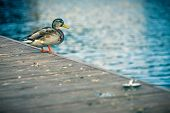 Duck Standing On A Pier