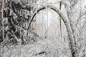 Bent Snowy Tree In Winter