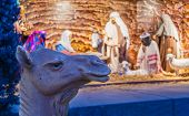 Camel In Front Of Nativity Scene