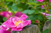 Rose On Fence